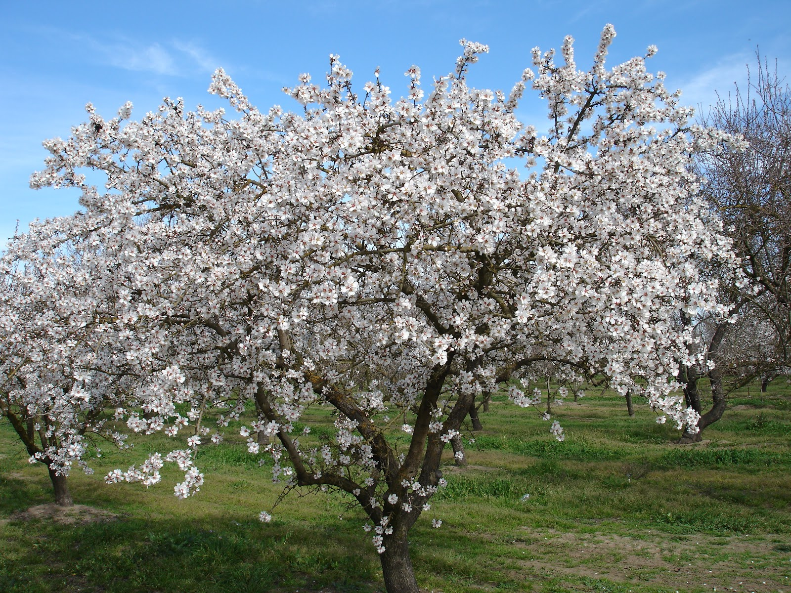 By Theola Rothe TK.80: Almond Tree #04