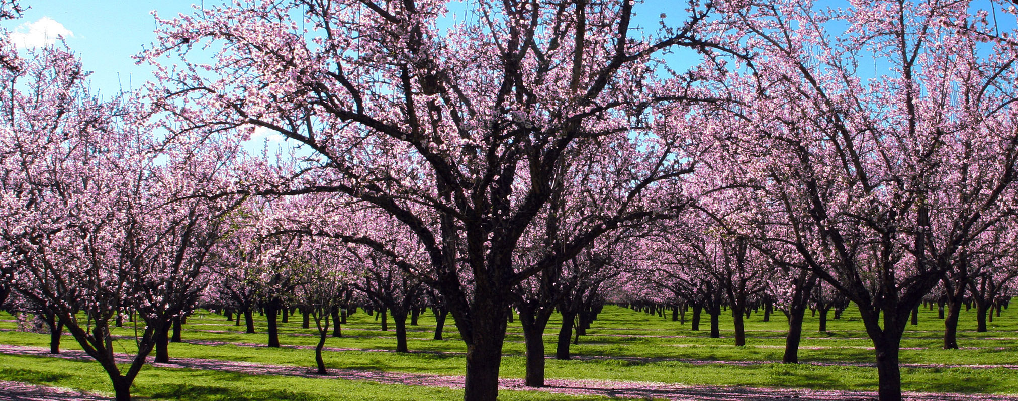 925.93 Kb - Almond Tree #2159995