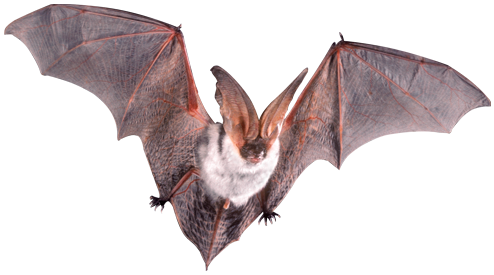 Amazing Meaning of Dream Bat - Dreamicus