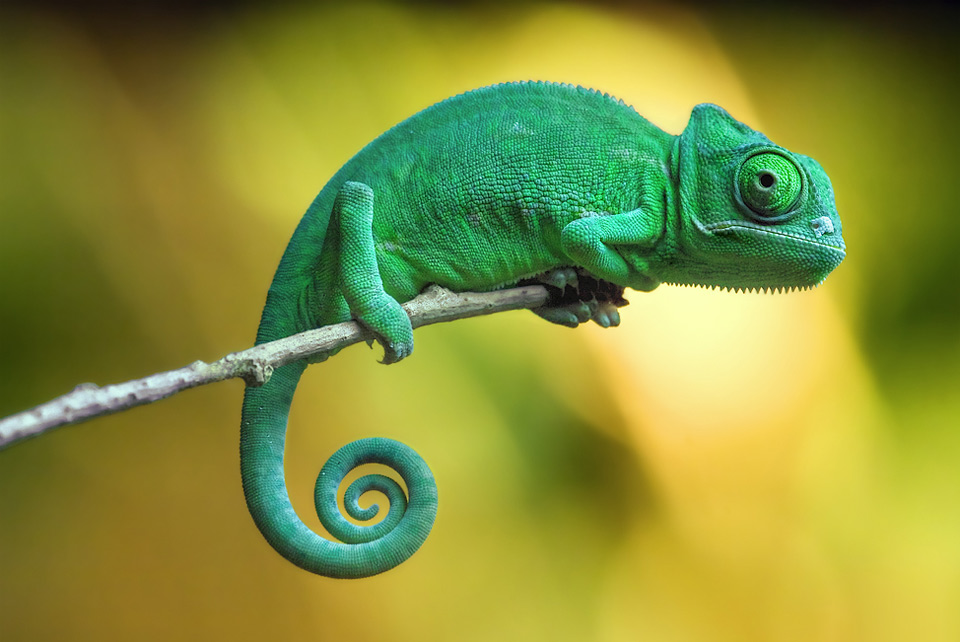 Gorgeous Wallpaper - Chameleon, Rosanne Goodell