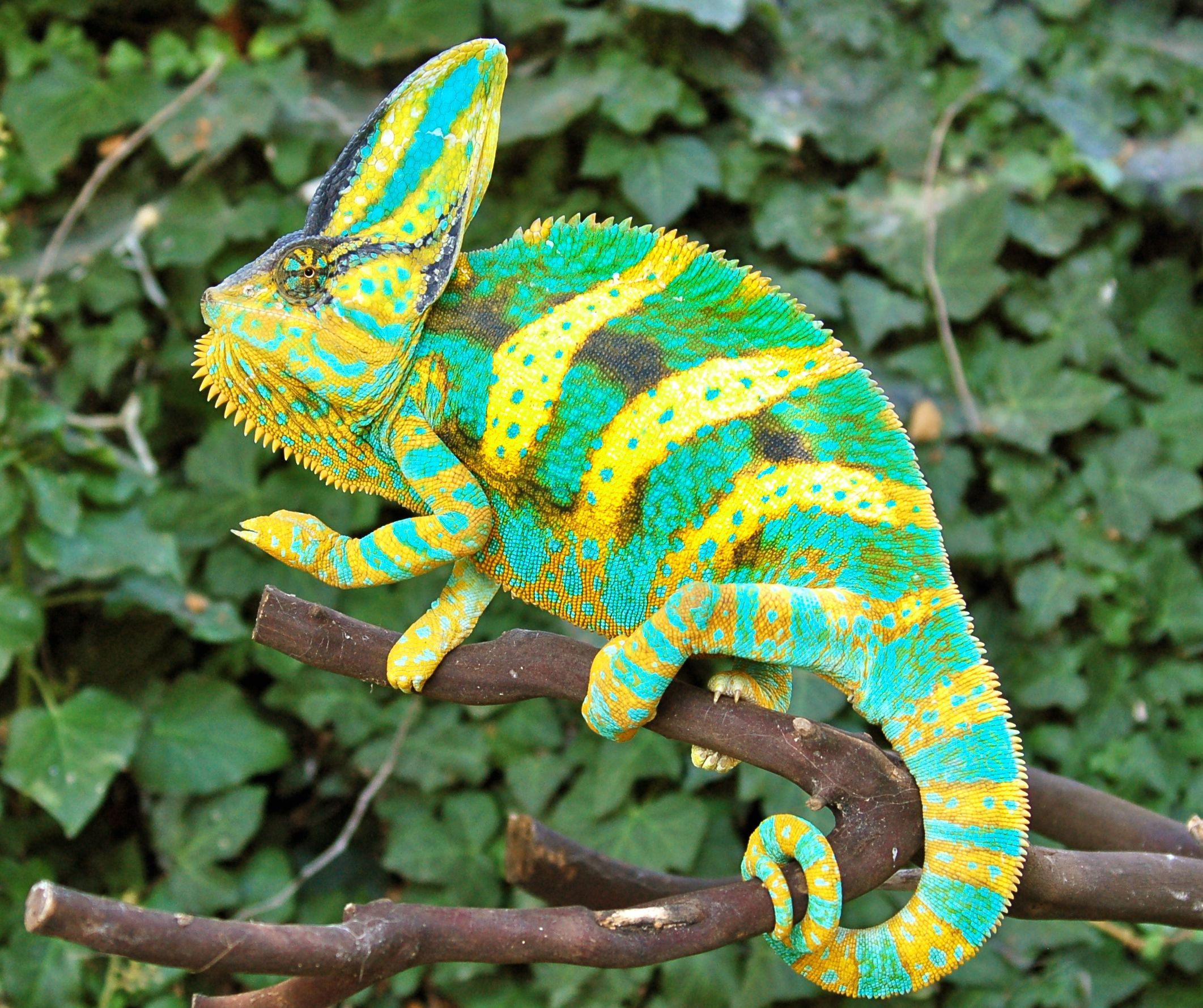 Chameleon Full HD Image | Dictionary of Dreams