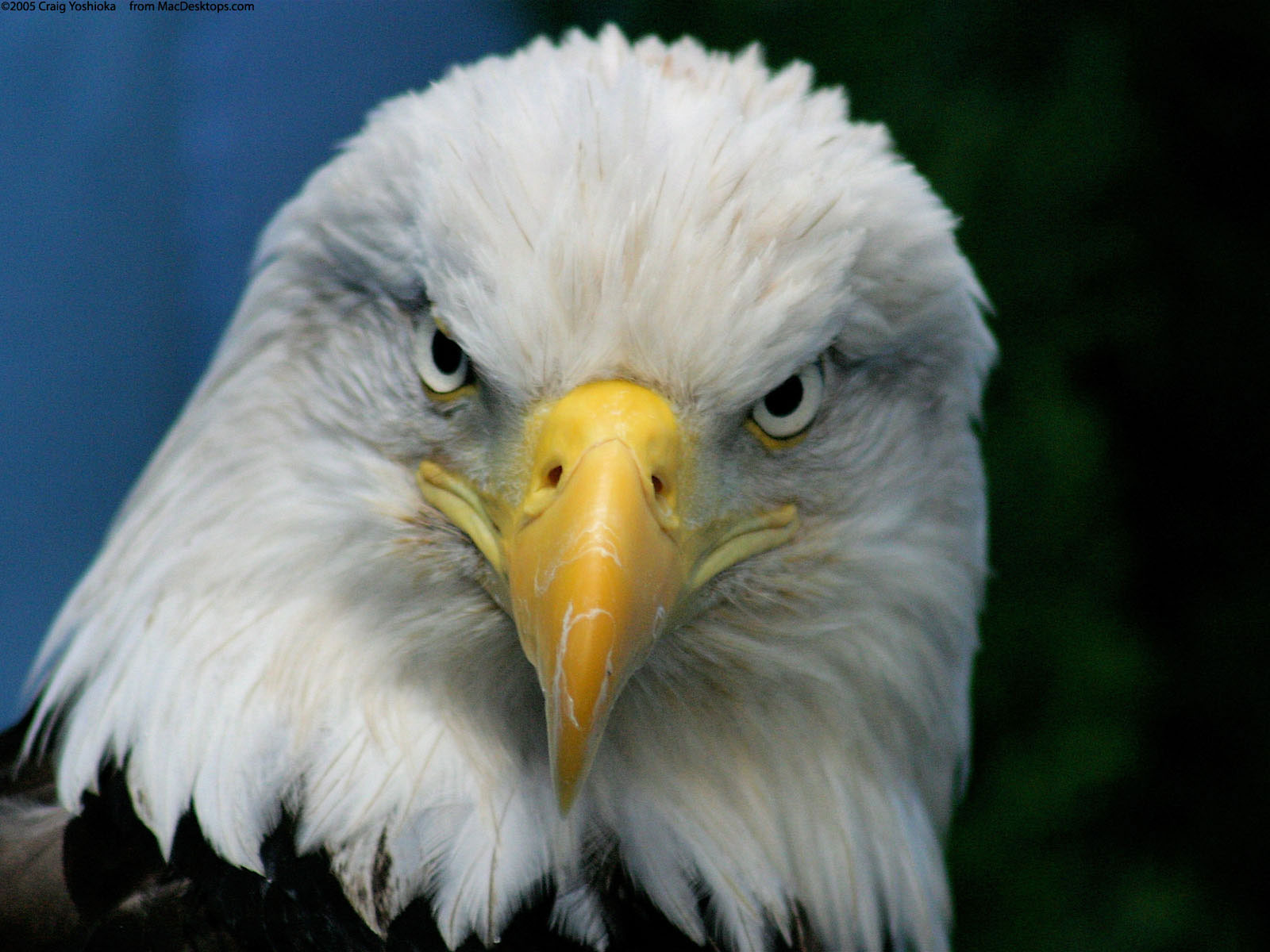 By Stacey Gehrke V.54: Incredible Eagle Image