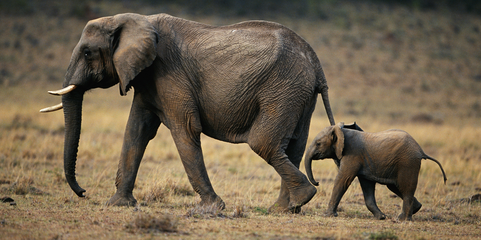 The meaning and symbolism of the word - Elephant  The meaning and...
