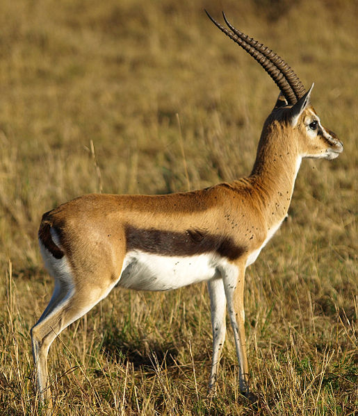 Interpret Dream of Gazelle