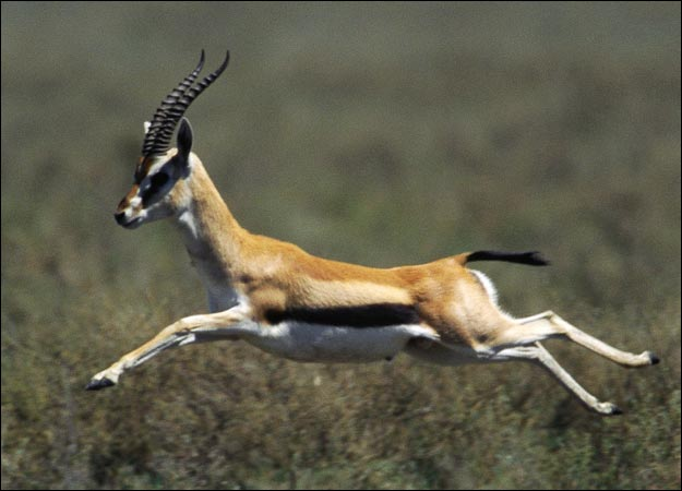 Image of Fantastic Gazelle by Stefania Guardado