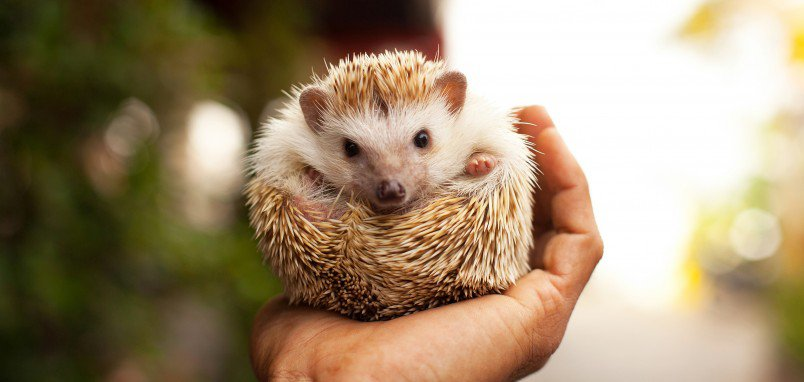 Hedgehog Quality HD Wallpaper | Dictionary of Dreams