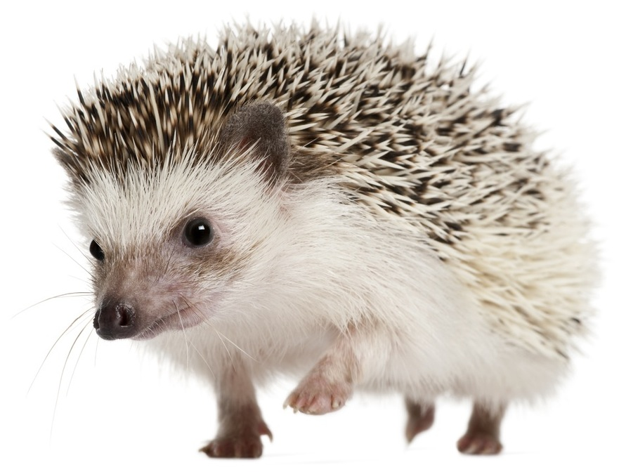 Desktop Image Hedgehog, YKN-11