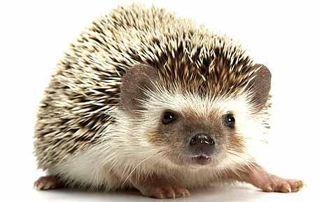 XJHC28: Amazing Hedgehog