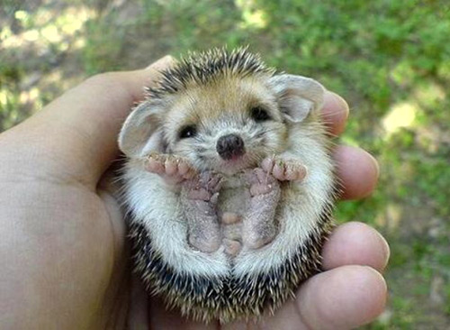 File: Hedgehog-High Quality.jpg | Patrina Reynoso