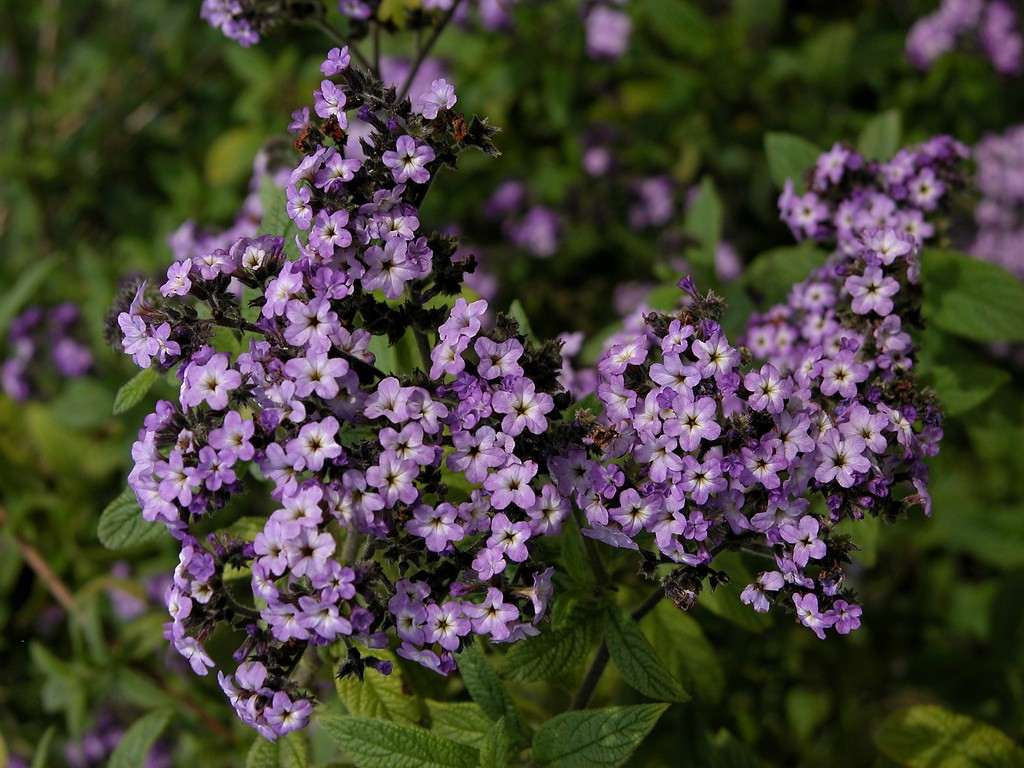 File: Heliotrope-High Resolution.jpg | Chang Capoccia