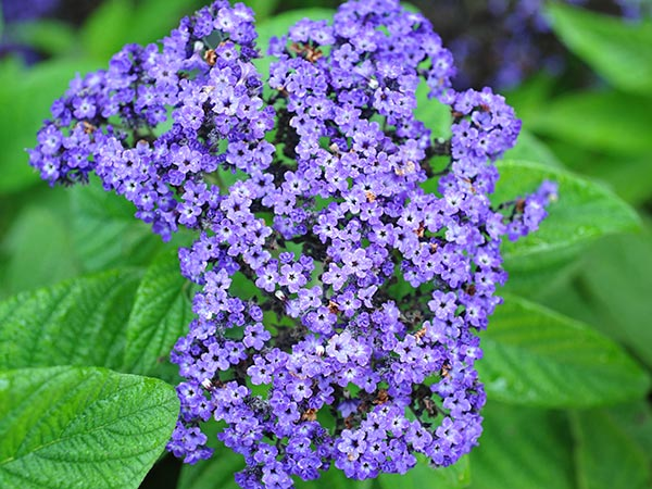 Heliotrope High Quality Wallpaper | Dreamicus