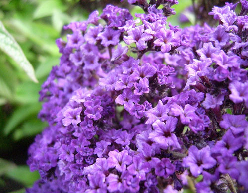 Heliotrope Full Resolution Picture | Dreamicus Dreamer's Dictionary