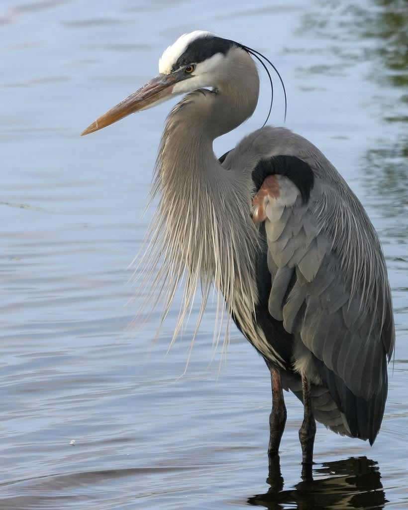 By Jeffery Hartley V.82: Colorful Heron Picture