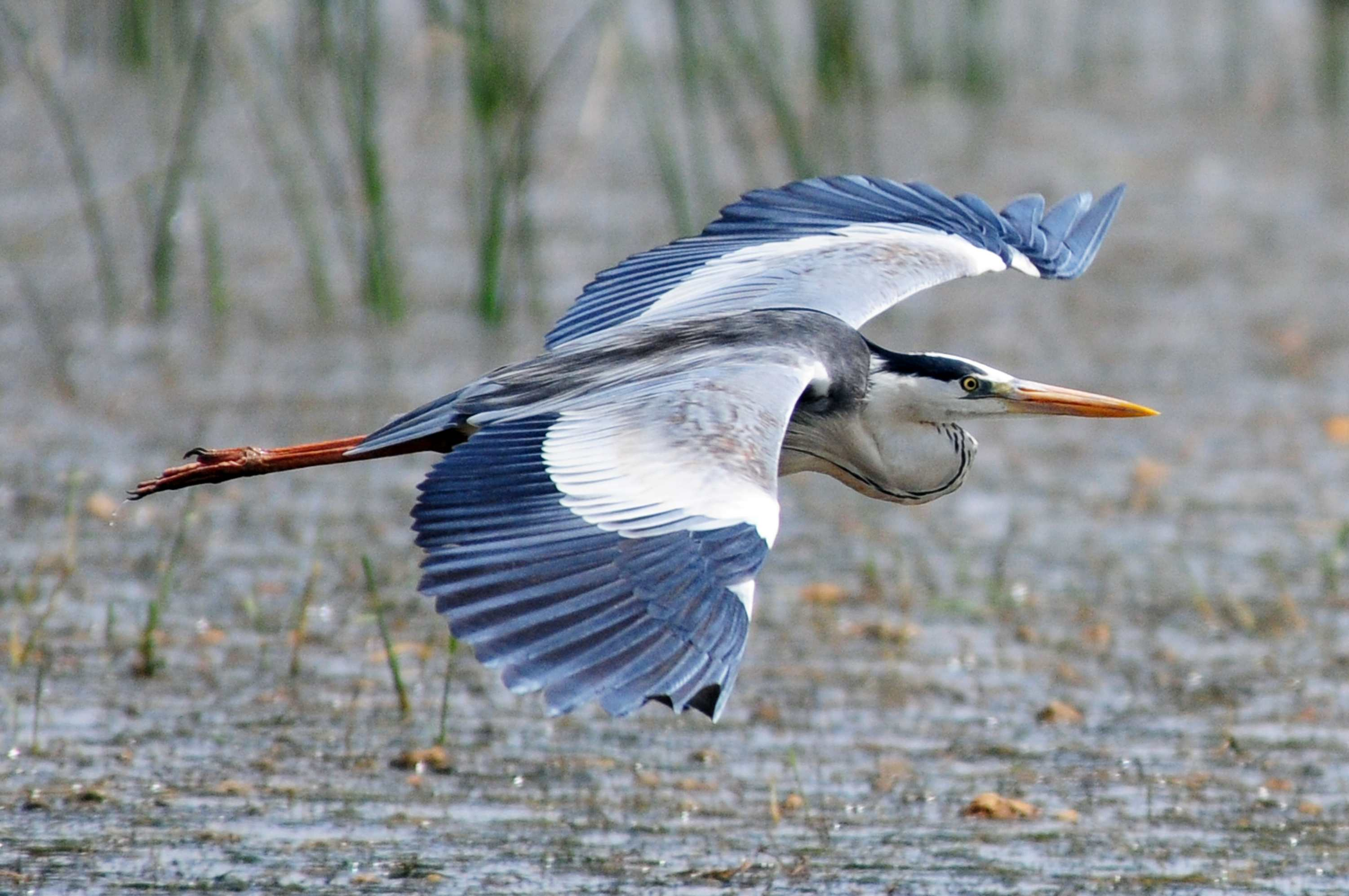 The Meaning And Symbolism Of The Word Heron