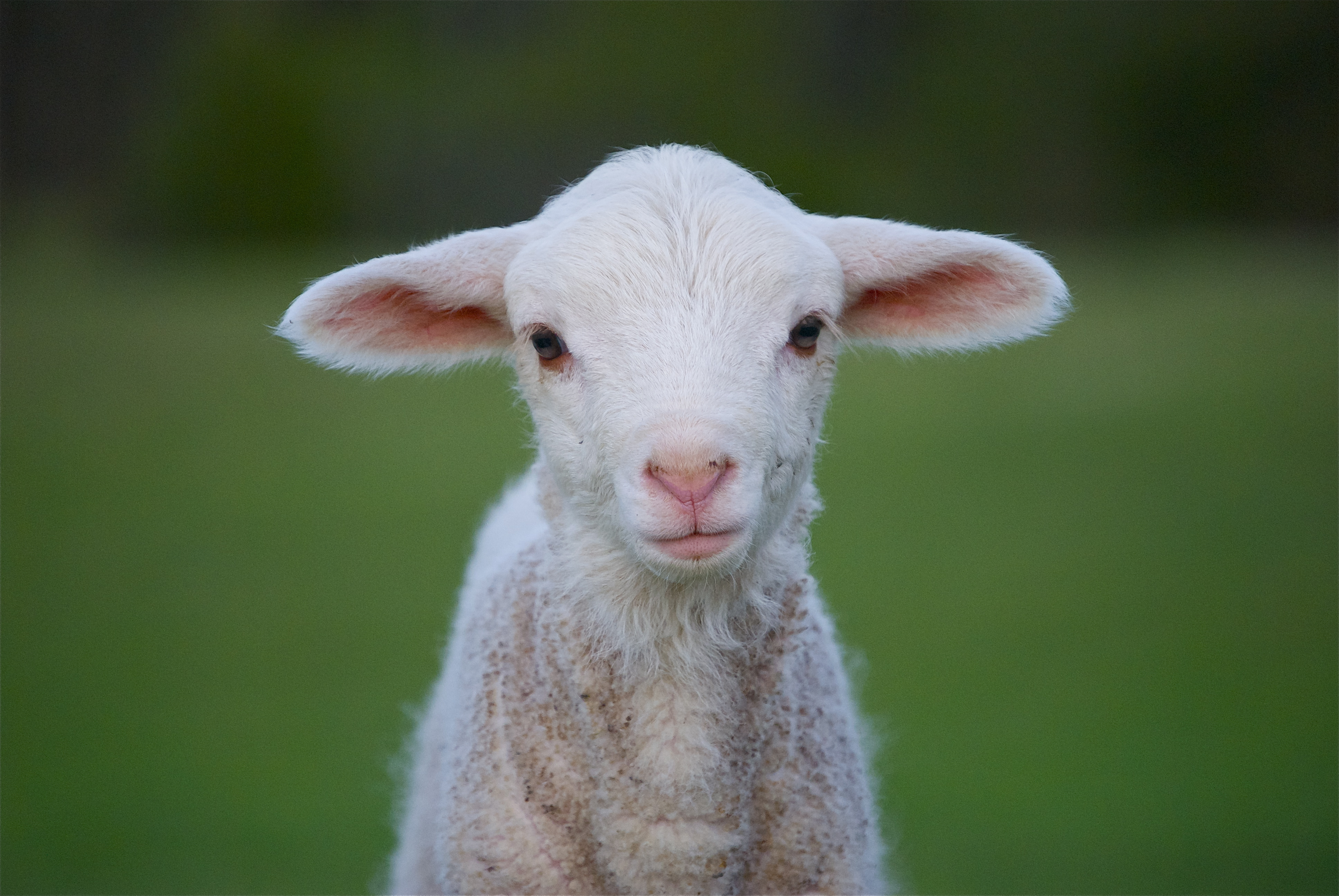 Lamb High Definition Image | Dreamicus