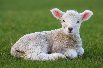 Awesome Interpret Dream Lamb - Online Dream Book Dreamicus.com