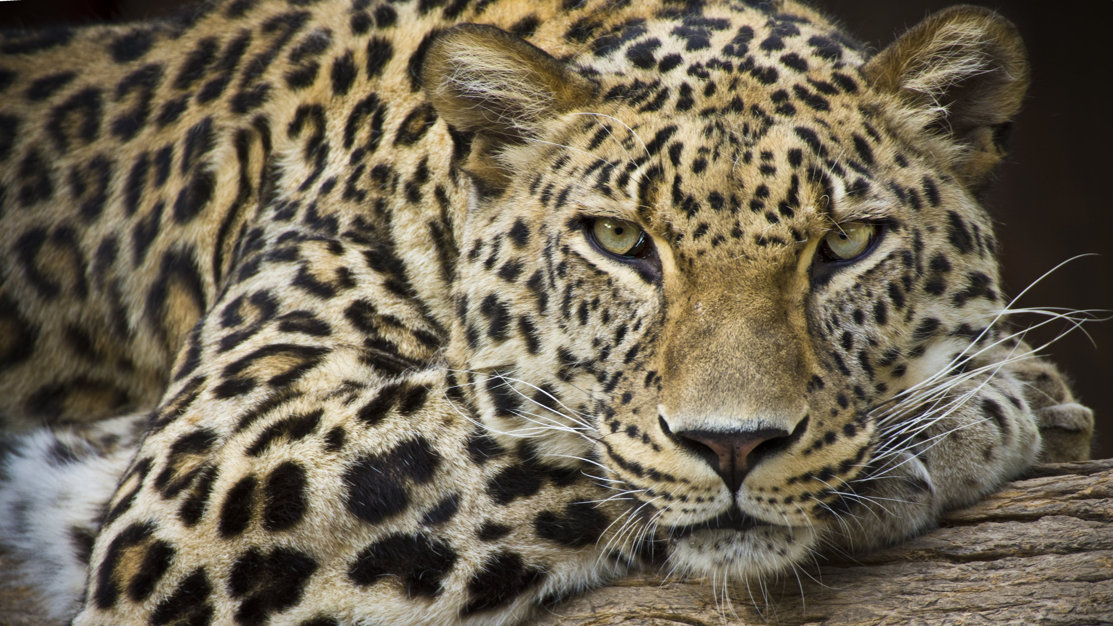 Leopard HQ Definition Image | Dreamicus Dreamer's Dictionary