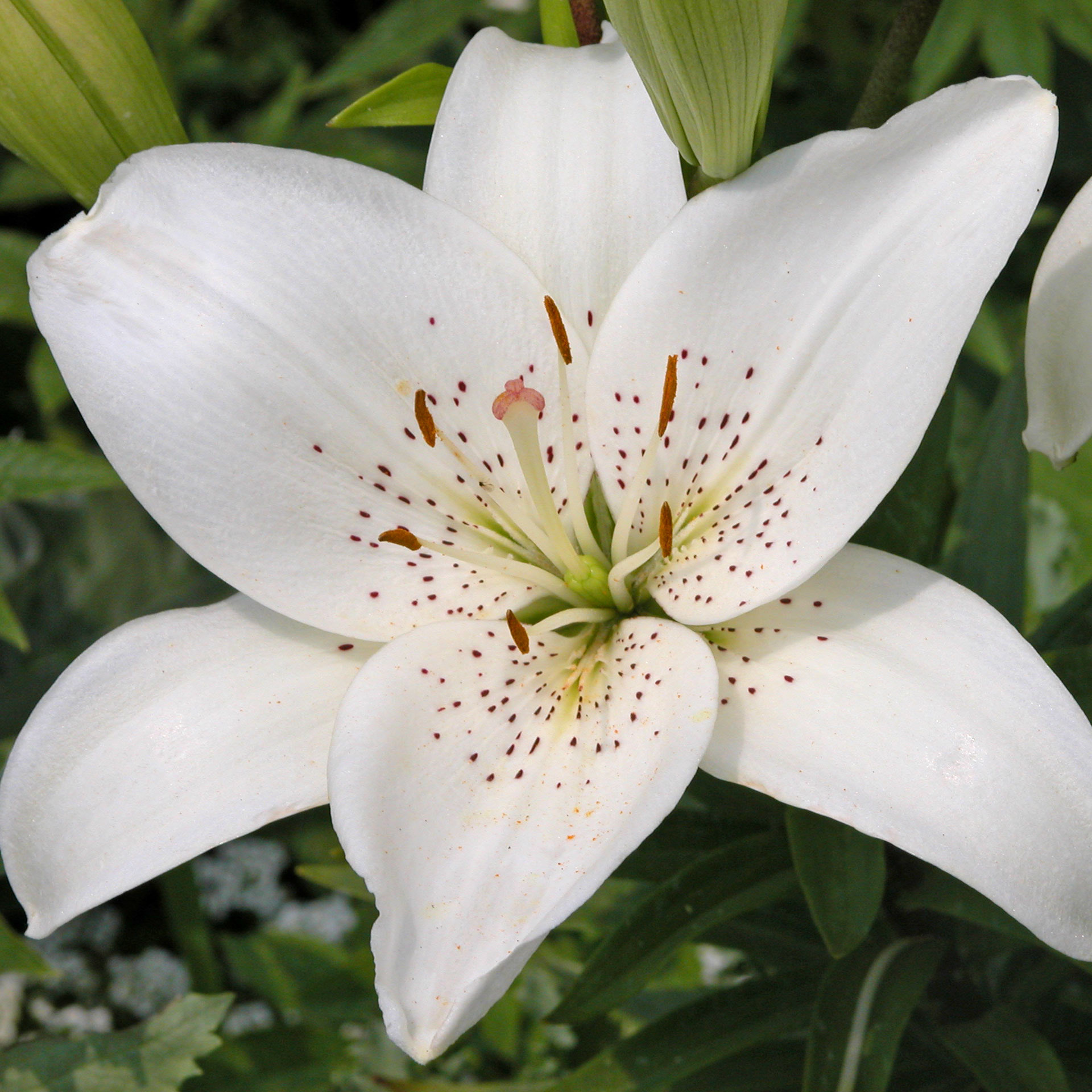 The meaning and symbolism of the word lily vxu13 lily 5364 kb download dhlflorist Image collections