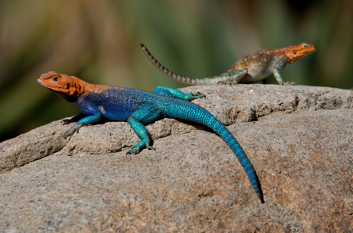 The Meaning And Symbolism Of The Word Lizard