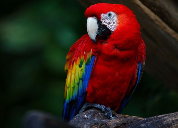 Awesome Dream Translation Macaw - Dreamicus Dreamer's Dictionary
