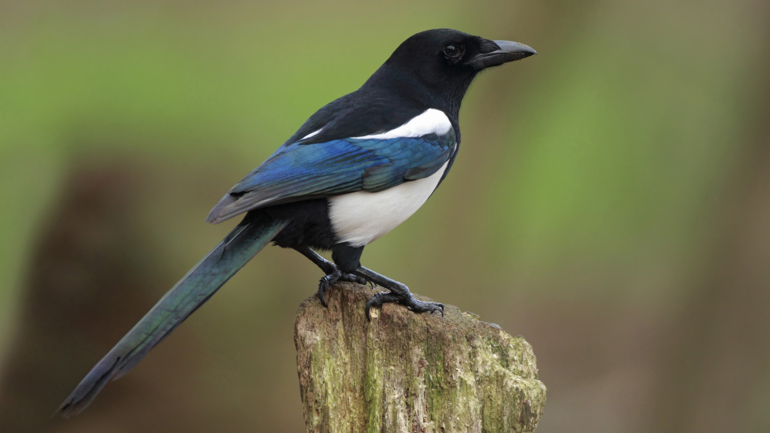 Desktop Photo Magpie, NCX-79