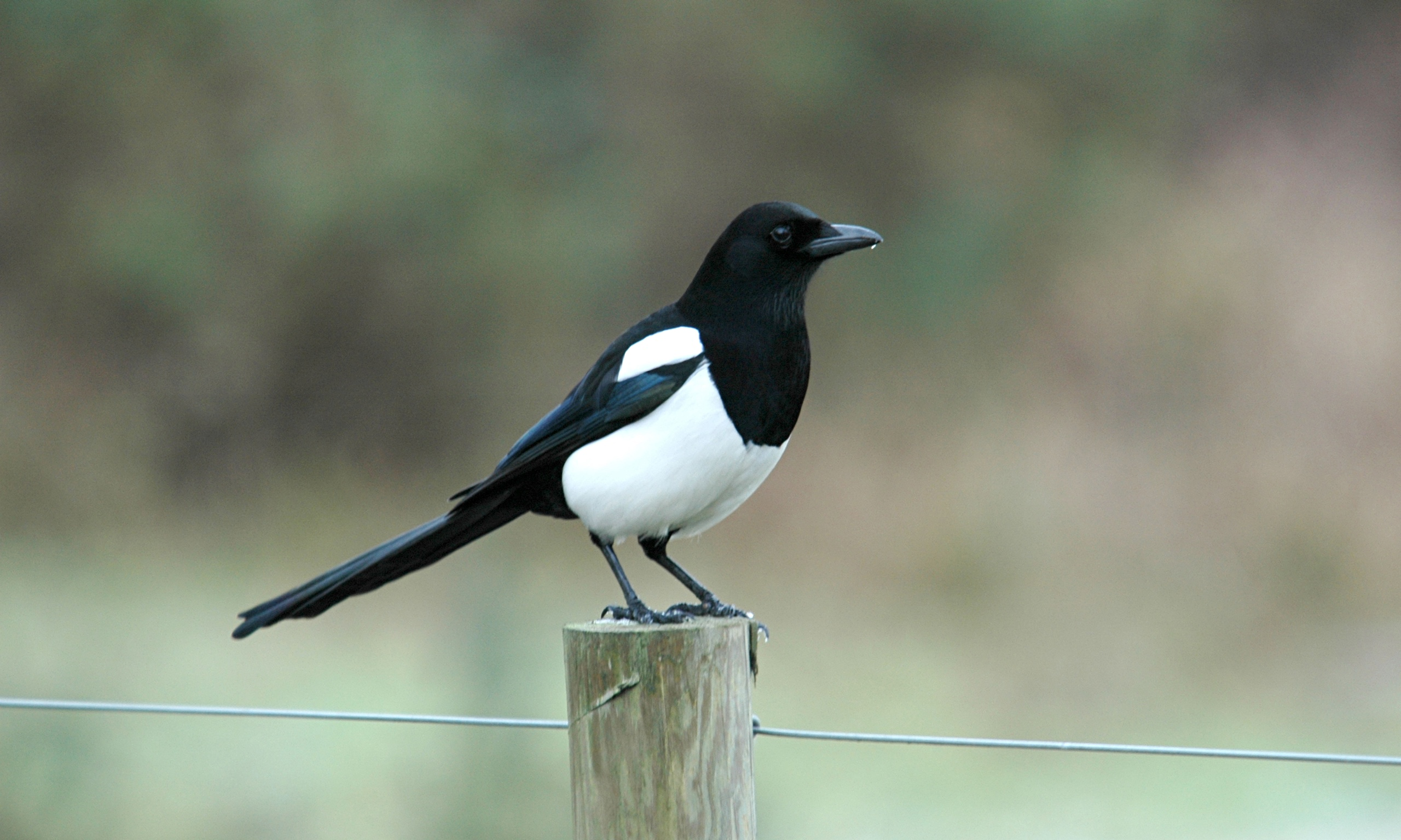 TLU55: Magpie, 934.77 Kb, by Salvatore Hennessee #2170425