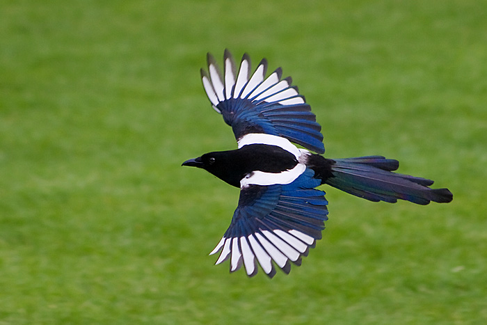 V.29 Magpie, High Resolution Photo