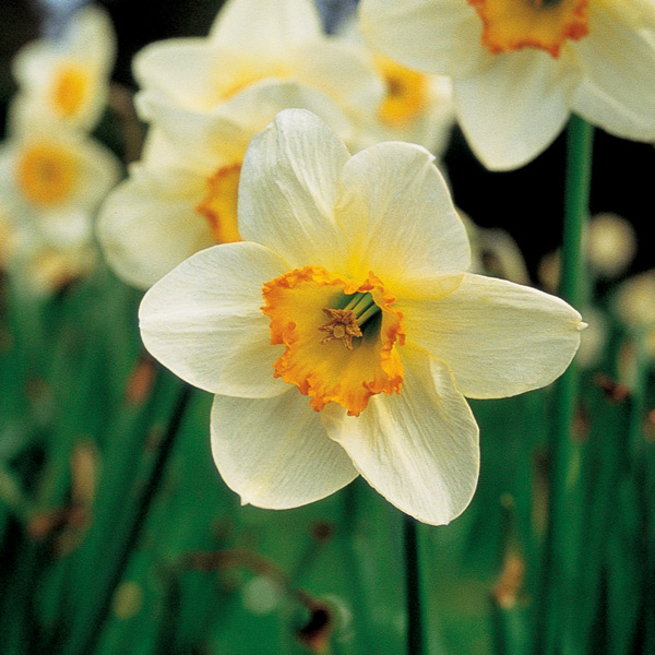 The meaning and symbolism of the word - Narcissus