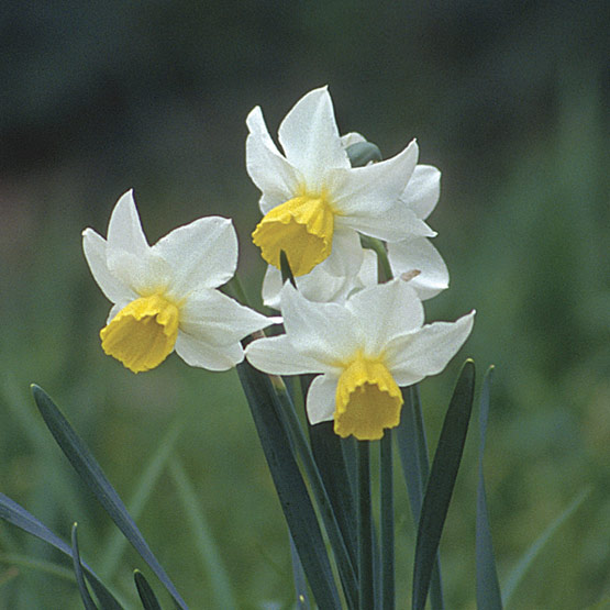 Narcissus Full Resolution Photo | Dreamicus Dreamer's Dictionary