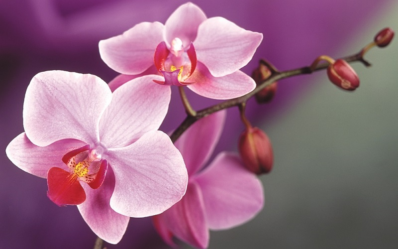 Orchid Full HD Picture | Dreamicus.com
