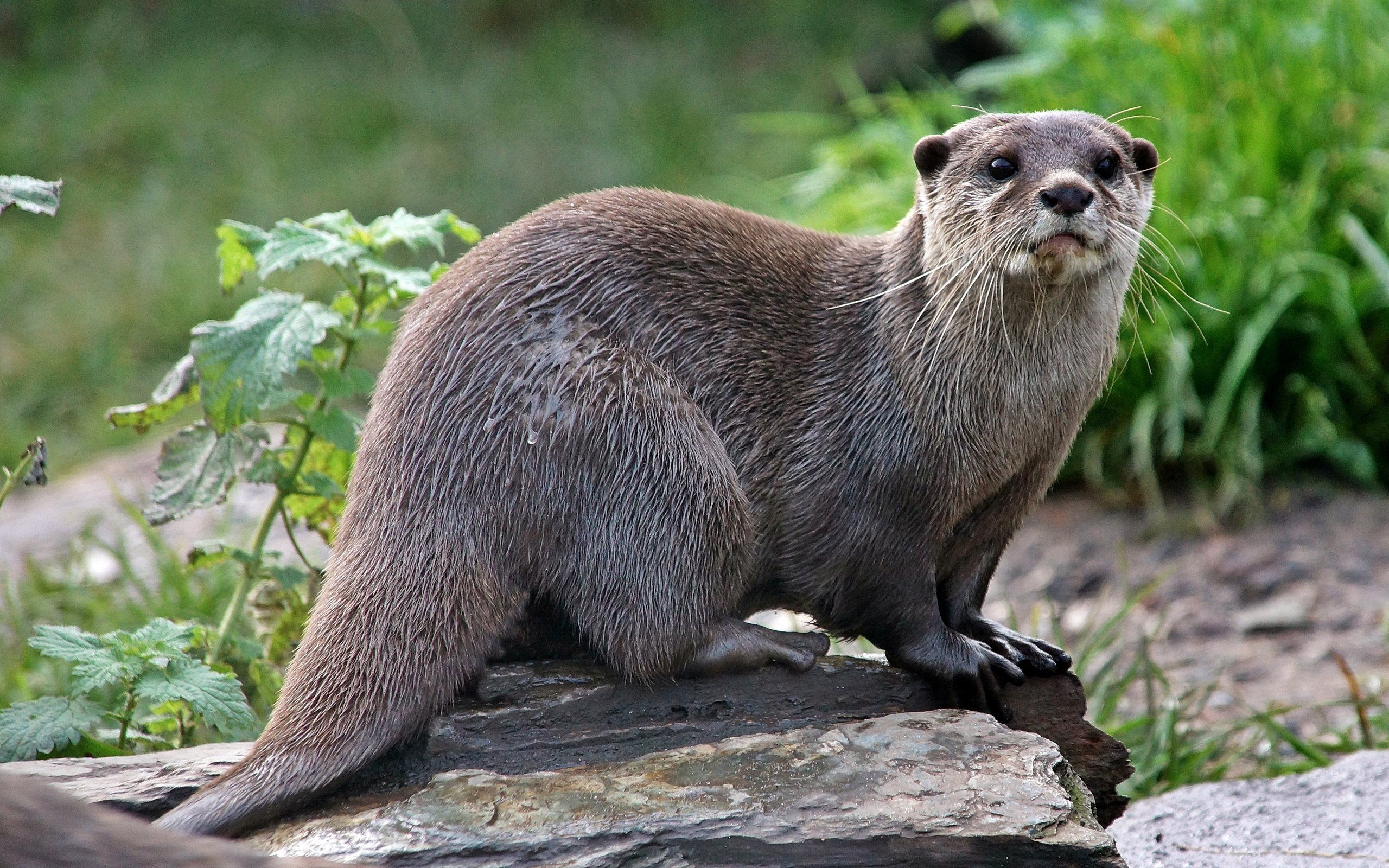 FXK62: Otter, 1615.5 Kb, by Trevor Wrobel #2171370
