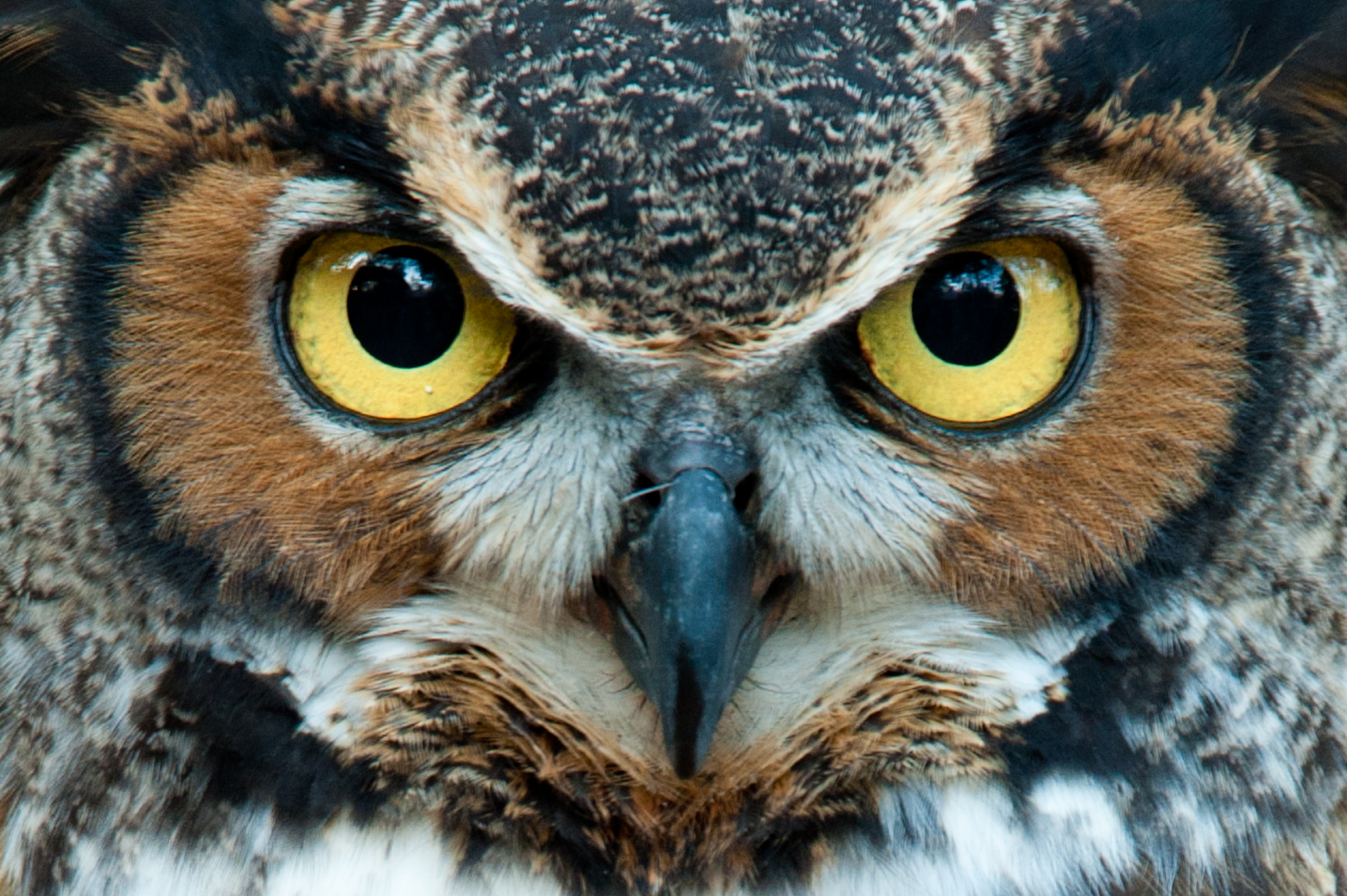 Owl HD Quality Background | Dictionary of Dreams