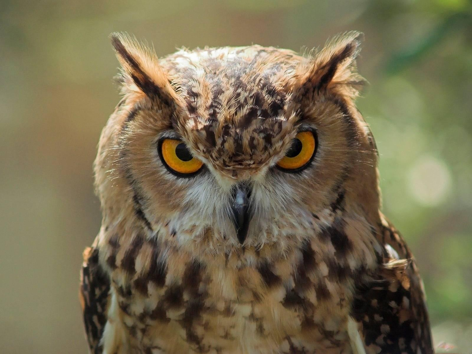 The meaning and symbolism of the word - Owl