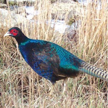 Melanistic mutant pheasant