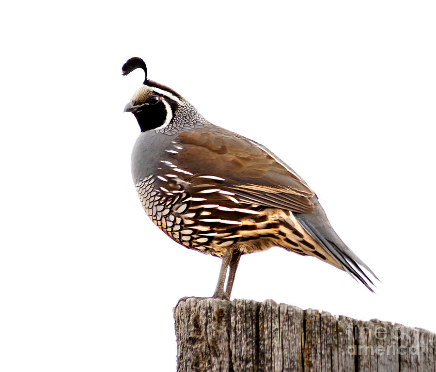 Amazing Dream Symbol Quail - Online Dream Book Dreamicus.com
