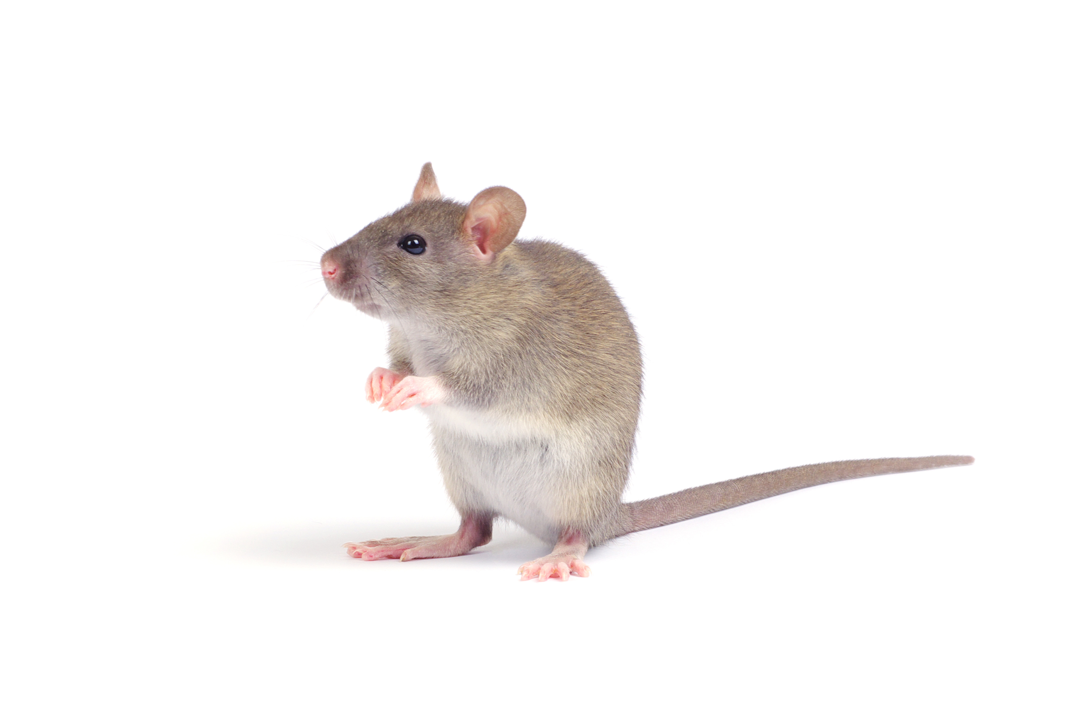 File: Rat-High Definition.jpg | Quinn Cornforth