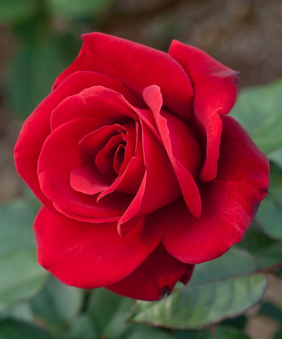 Amazing Dream Translation Rose - Dreamicus.com