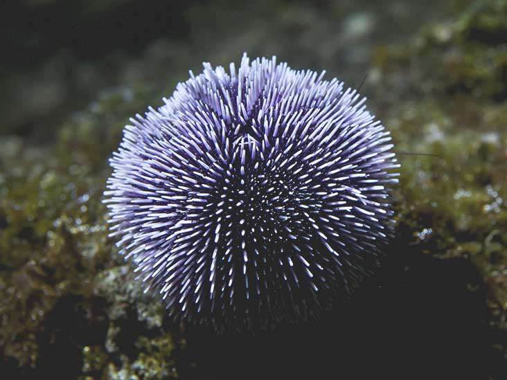 Sea-Urchin Full Resolution Background | Online Dream Book Dreamicus.com