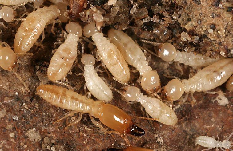 Image of Superior Termite by Susanne Garcia