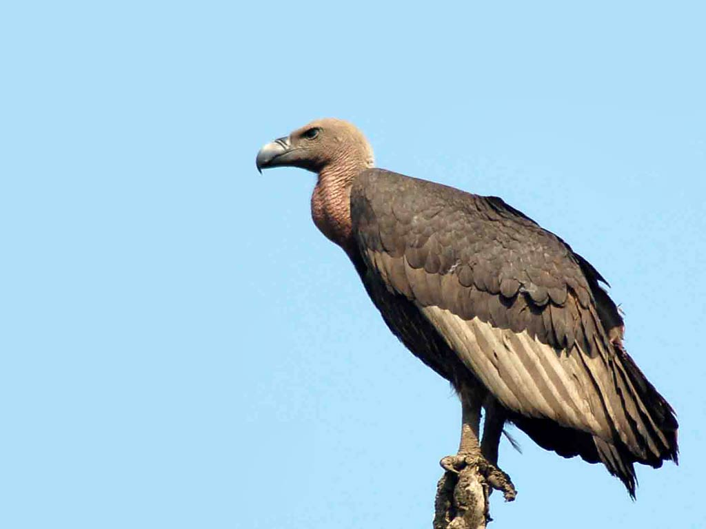 V.77 Vulture, High Resolution Image