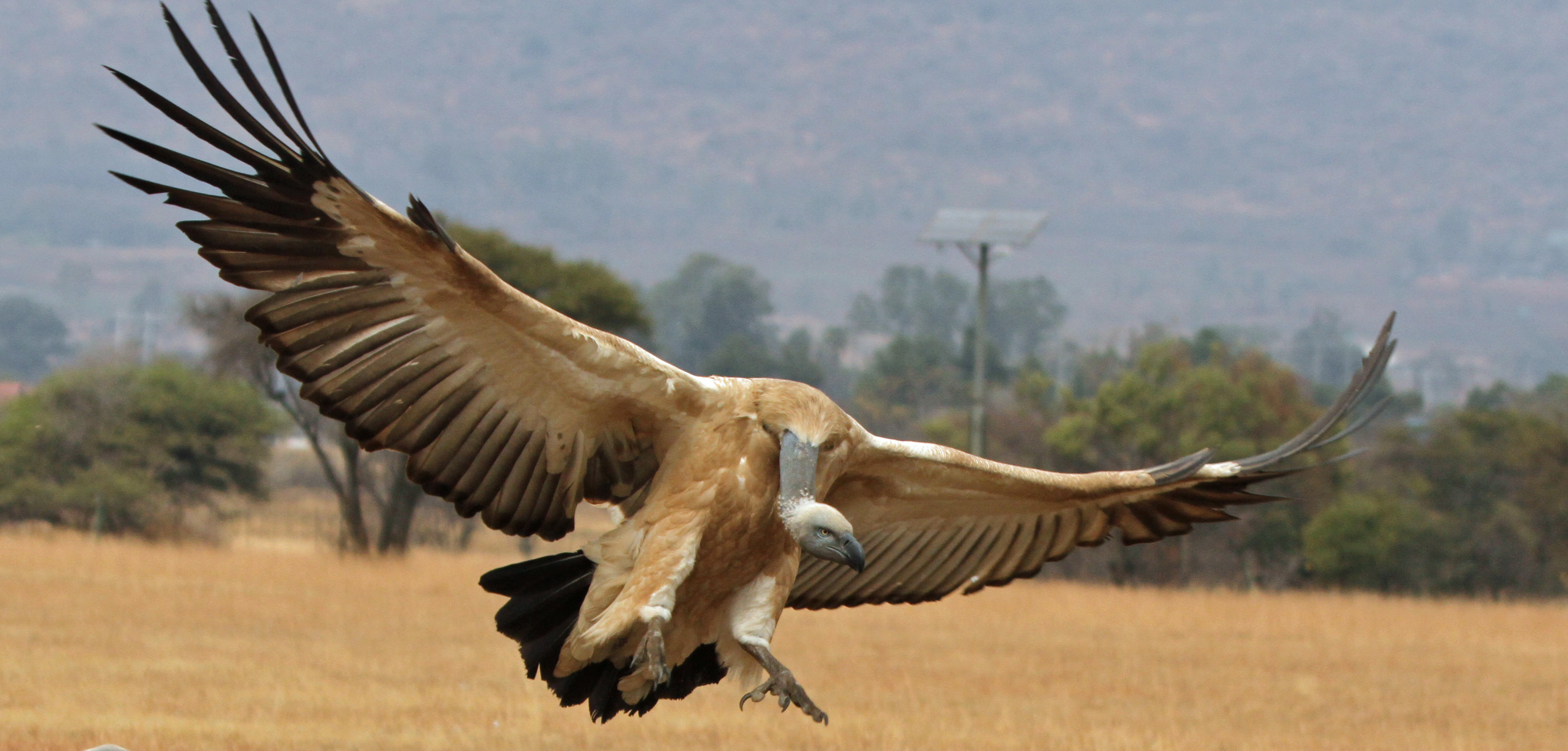Photo of Wonderful Vulture by Alexis Kuhl